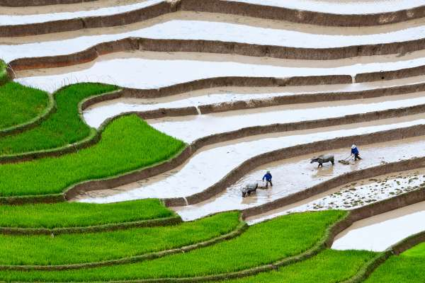 Workers with oxen tend to terraced rice paddies.